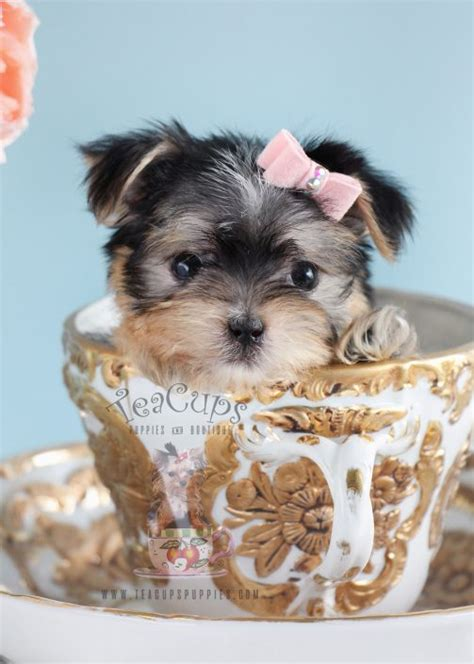 morkie puppies for sale in florida morkie puppies and designer breed puppies for sale by teacups puppies teacups
