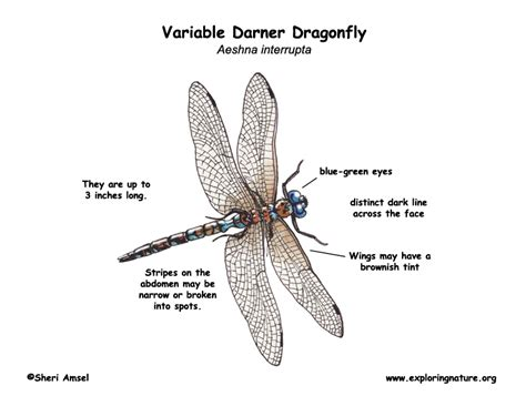 dragonfly anatomy diagram dragonfly variable darner