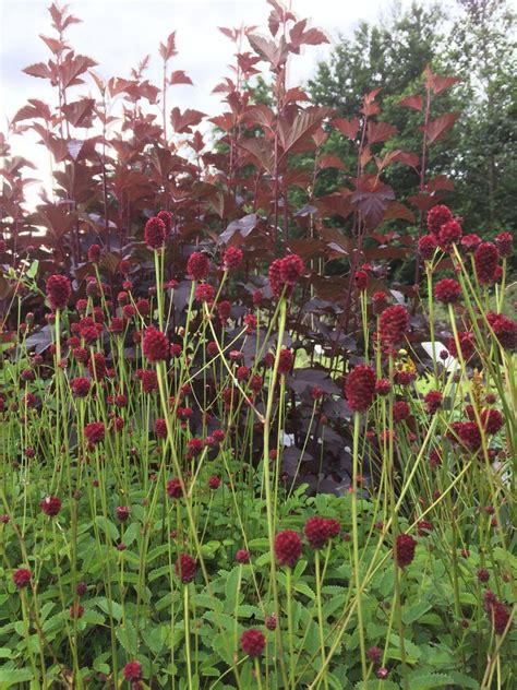 sanguisorba officinalis red thunder ballyrobert gardens