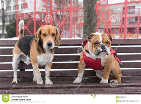 bench beagle adult beagle and english bulldog pup stock photo image