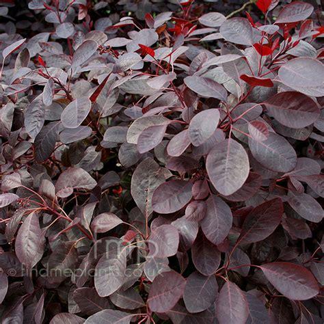 purple leaves pink flowers shrub cotinus coggygria follis purpureis smoke bush