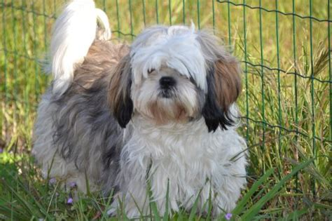 shih tzu illnesses shih tzu health problems and issues canna pet 174
