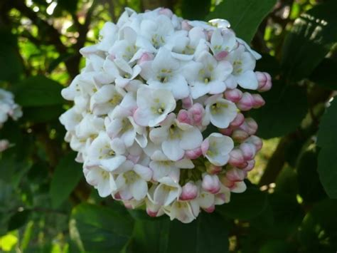 palla di neve fiore viburno palla di neve piante da giardino viburno pianta