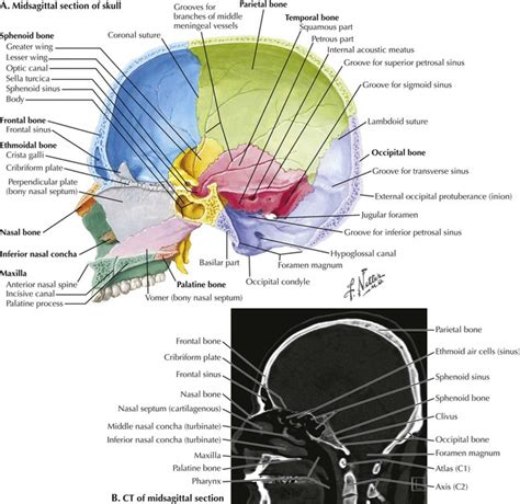 midsagittal section midsagittal section 28 images midsagittal section of