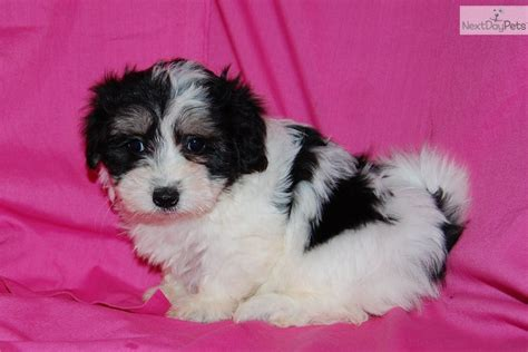 coton de tulear puppies for sale florida coton de tulear coton de tulear coton de tulear puppies available breeds picture