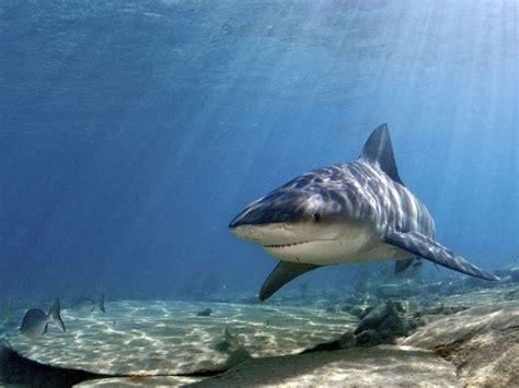 mississippi river sharks animal unique bull shark