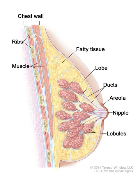 diagram of breast tissue breast anatomy mammary gland the free