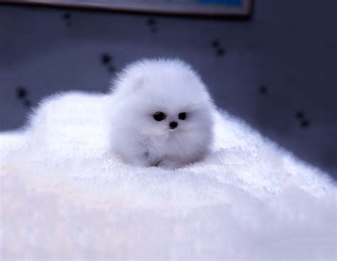 fluffy dogs dogs puppy fur blue fuzz fluffy free desktop animals