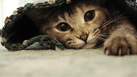 cat wallpaper for mac kitten desktop wallpaper 1920x1080 wallpapersafari