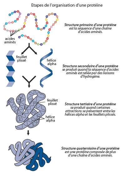 protein 4 structures reflexions d 233 m 234 ler la structure 3d des prot 233 ines