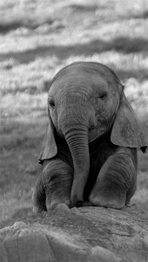 wallpaper elefante cute so cute baby elephants animal and baby animals