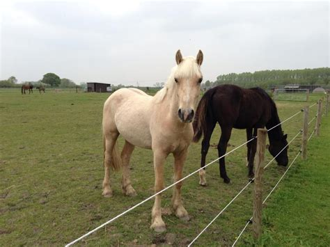 welsh section d foals for sale palomnino welsh section d gelding 2 yrs thetford