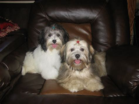 are havanese barkers shereana s havanese havanese puppies for sale