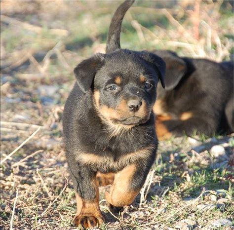 rottweiler puppies for sale idaho 25 best ideas about rottweiler puppies for sale on german rottweiler