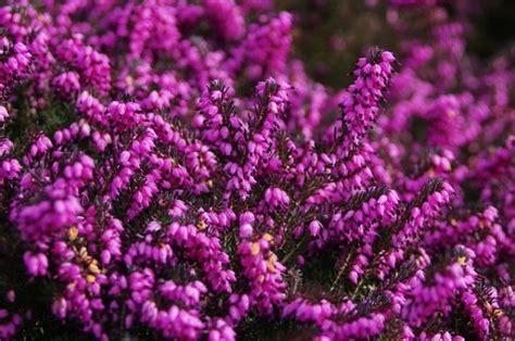 calluna vulgaris in vaso calluna coltivazione