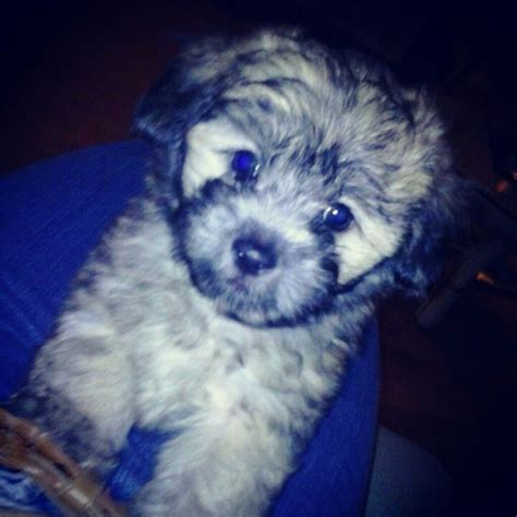 shih tzu cockapoo mix 57 best images about puppies on poodles