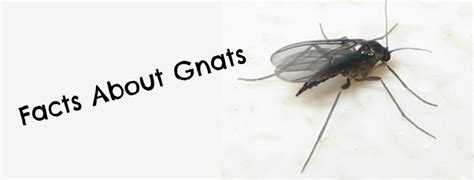 Small Black Bugs In Bed Pest Control Okc Discusses Facts About Gnats The Bug Guy