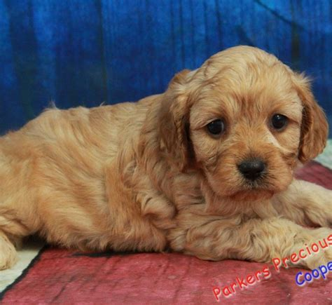 parkers precious puppies small breed puppies for sale parkers precious puppies