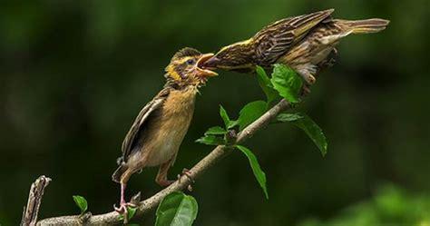 perawatan dan pemasteran burung manyar agar til