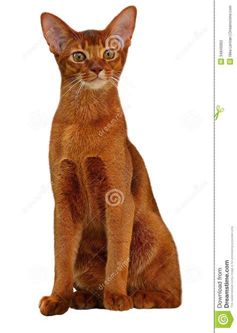 sorrel color beautiful abyssinian cat sorrel color stock photography