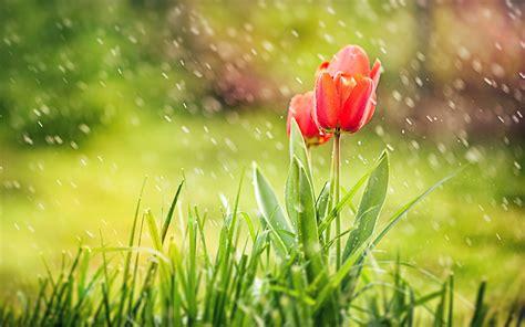 imagenes para fondo de pantalla de tulipanes tulipanes en la lluvia fondo de pantalla 2560x1600 id 1353