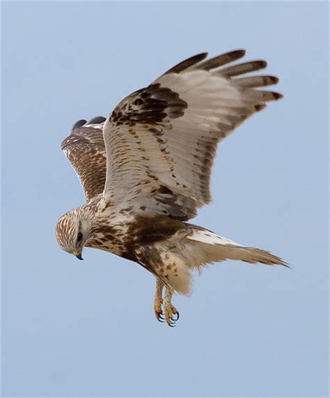 rough legged hawk rough legged hawk in flight a photo on flickriver