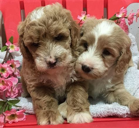 goldendoodle puppy rochester ny puppy for sale goldendoodles for sale puppies ny adopt