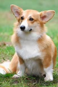 the corgis pembroke welsh corgis info facts temperament puppies