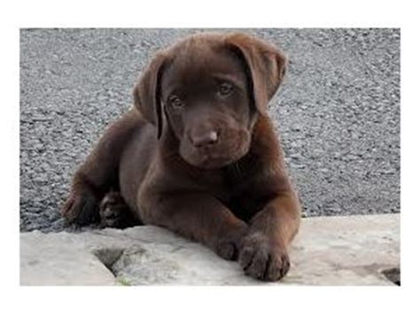 blockhead lab puppies for sale labrador retriever puppies for sale akc chocolate lab puppies