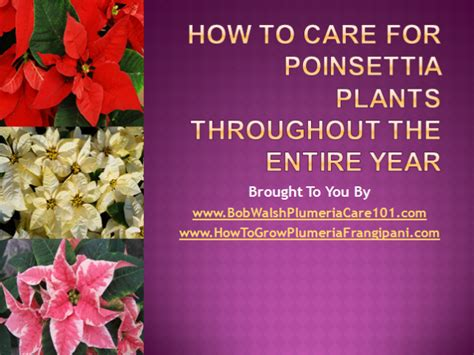 how to care for poinsettia 28 images aldershot greenhouses ltd caring for poinsettia