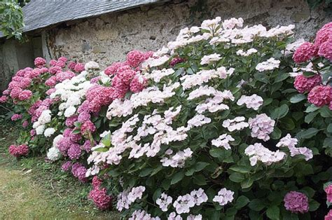 Quand Planter Les Hortensias by Planter L Hortensia