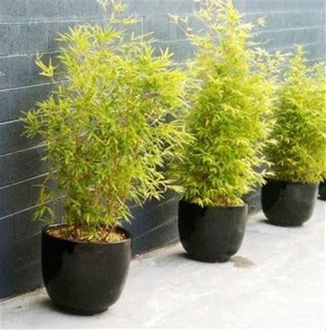 jual bibit tanaman hias bambu kuning mini  lapak hgs