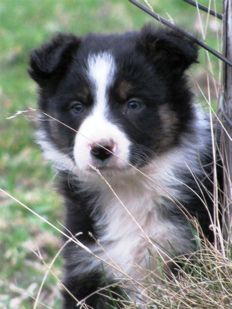 border collie puppies wisconsin border collie puppies and dogs for sale and adoption design bild