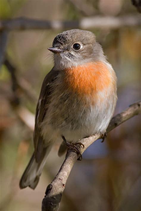 scarlet robin wikipedia
