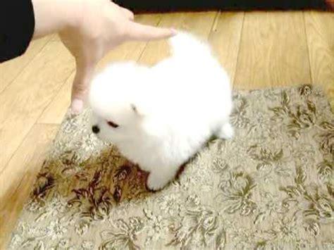 smallest pomeranian jung puppy teacup size smallest puppies teacup pomeranian