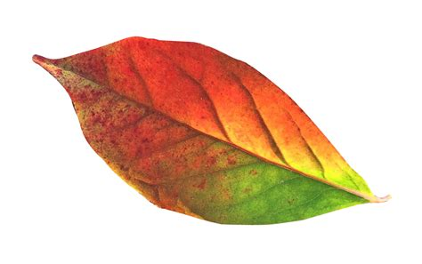 Autumn Leaf the gallery for gt falling autumn leaves png