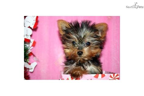 smallest teacup yorkie in the world meet chanel a terrier yorkie puppy for sale for 9 750 the smallest