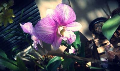 Bibit Anggrek Di Bali jual tanaman hias di cirebon tanamanbaru