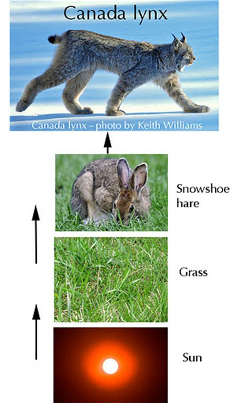 so cat food canada niche endangered the canadian lynx