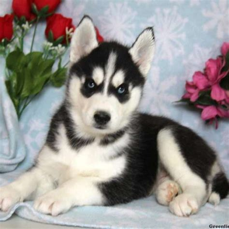 siberian huskies puppies siberian husky puppies for sale in pa