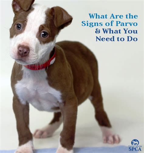 what are the signs of parvo in a puppy what are the signs of parvo what you need to do