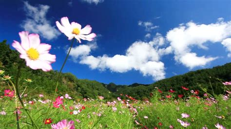 foto hd fiori co di fiori fioritura giappone rf clip 902 047