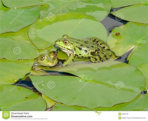 imagenes de ranitas verdes pares de ranas verdes