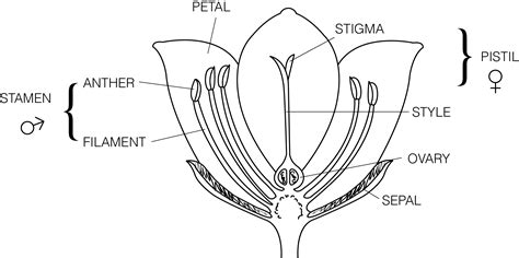 flower part diagram plant parts flower diagram plant get free image about