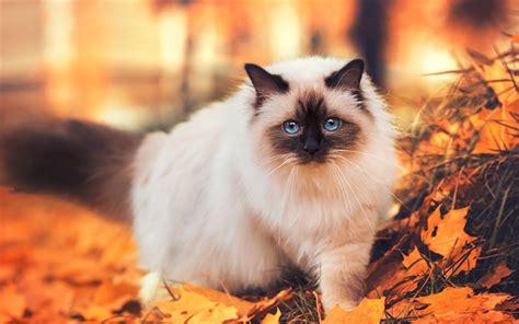 wallpaper chat automne t 233 l 233 charger fonds d 233 cran chat siamois l automne les