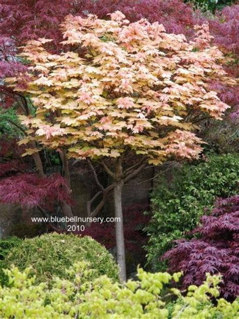 small trees and shrubs for landscaping in front yard hot landscaping 17 best images about trees for small gardens on pinterest
