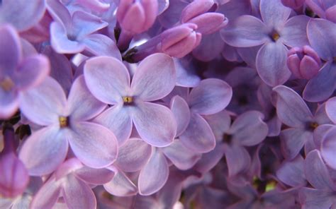 purple lilac purple lilac wallpaper flowers nature wallpoop the