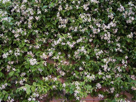 deer resistant climbing plants trachelospermum jasminoides confederate