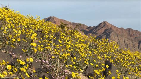 Valley Record High Valley Is Alive As El Ni 241 O Has Led To A Superbloom