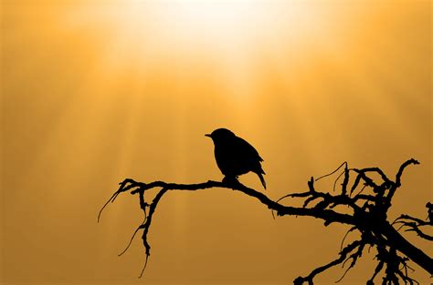 Kagenos Springtime Of 05new Releasefree Sul silhouette of the bird on branch free stock photo